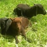 mouton_240