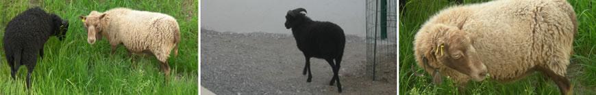 mouton_3