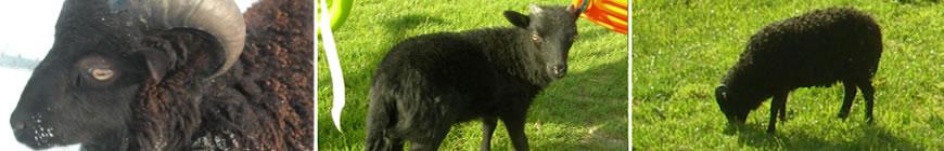 mouton_8