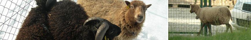 mouton_9
